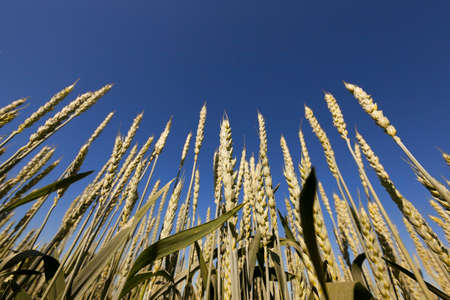 barley head: photographed close-up of unripe green grass growing on agricultural field, agriculture Stock Photo