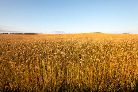 yellowing: agricultural field, which grows not yet mature, but yellowing rye.