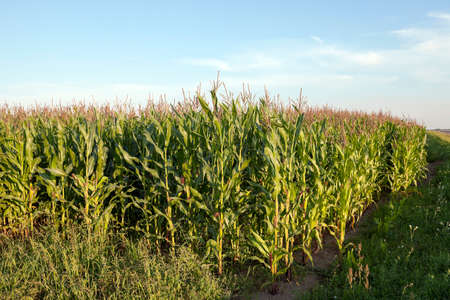 immature: an agricultural field, which is growing young green corn. immature corn