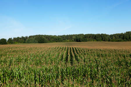 puerile: an agricultural field, which is growing young green corn. immature corn