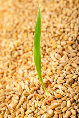 sprouted: sprouted wheat photographed against the backdrop of a plurality of grains. Stock Photo