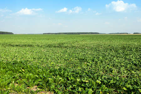 torrid: sugar beet sprouts that wilted during the drought, problems with the harvest, close-up Stock Photo