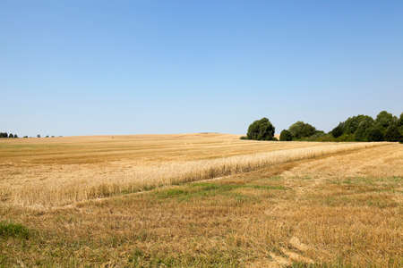 remained: agricultural field where cereal harvest remained strip with uncollected wheat