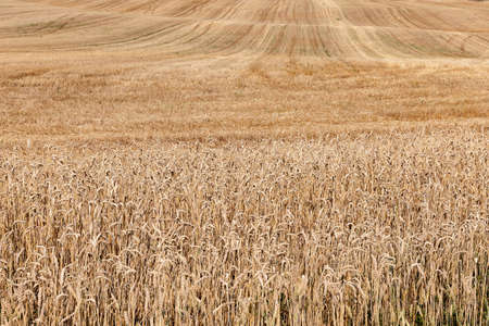 crop margin: agricultural field with beveled wheat after harvesting cereal crops, small depth of field