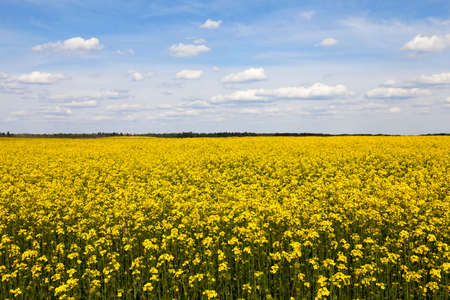 agriculturalist: the agricultural field, which blooms yellow canola. spring season