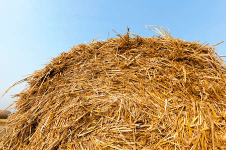 golden section: Agricultural field on which stacked straw haystacks after the wheat harvests