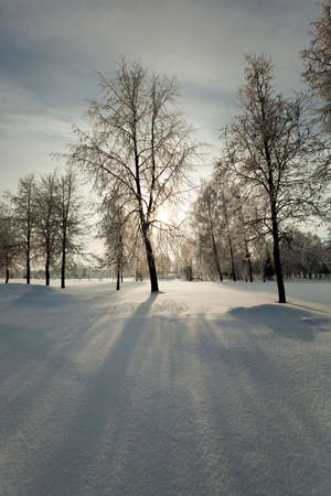 winterly: trees in the park in winter. the ground is covered with snow.