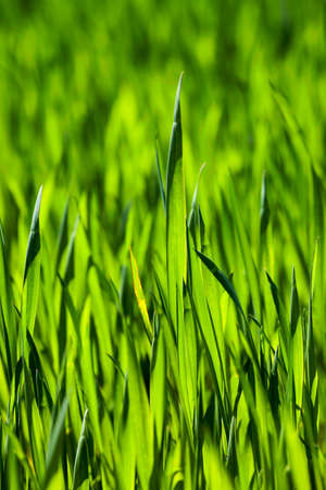gramineous: Agricultural field on which grow unripe green grass in spring season Stock Photo