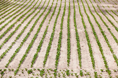 agrarian: Agricultural field on which grow sugar beets. Spring. beetroot sprouts