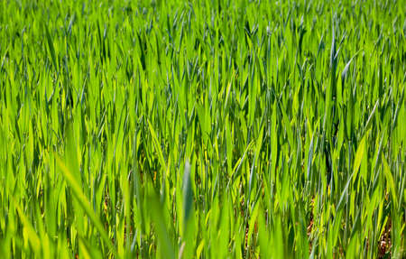 greengrass: photographed closeup young green leaves of wheat. small depth of field