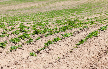 agriculturalist: an agricultural field on which grows green potatoes. furrow. Spring. close-up