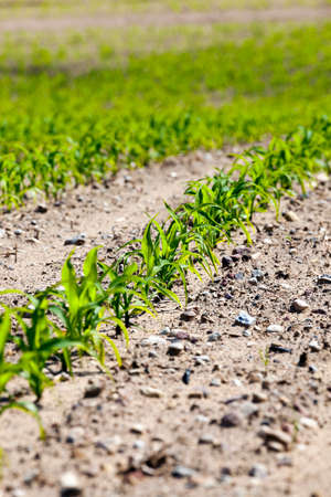 agriculturalist: agricultural field on which to grow crops - corn in the spring season Stock Photo