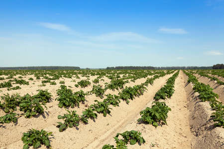 furrow: the furrow on which grows green potatoes, summer, blue sky Stock Photo
