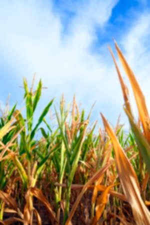 crop margin: unripe green corn growing in the agricultural field, defocus