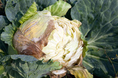 photographed close up beginning to rot cabbage