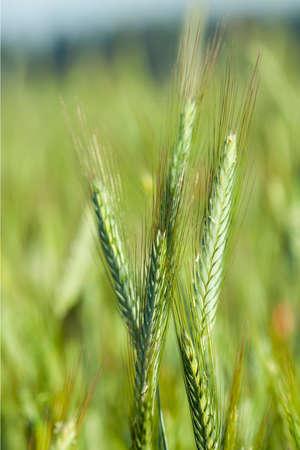 economic botany: close-up pictures taken unripe green cereals  in summer