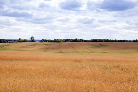 haymow: photographed agricultural field on which grow cereals, wheat