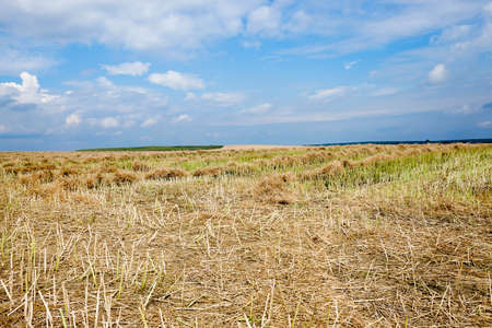 adult rape: an agricultural field, which carried out the rape harvest, summer, Stock Photo