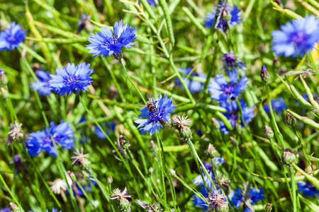 bluet: photographed close up blue cornflower, growing in a field. spring