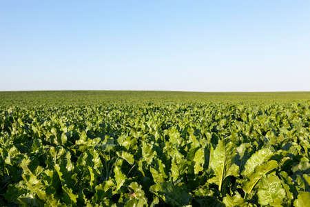 rutabaga: Agricultural field on which grow green shoots of beet