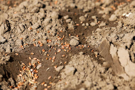 sowing: wheat, which lie on the ground. Spring. sowing of cereals