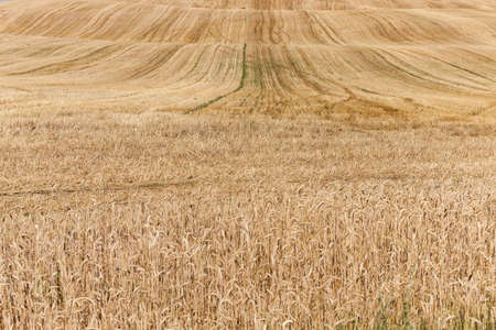 lit collection: agricultural field where crops harvested ripe yellow rye, small depth of field, Stock Photo