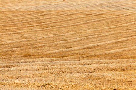 crop harvest: agricultural field where crops harvested wheat, summer, Stock Photo