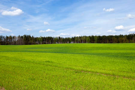 grew: the agricultural field, which grew green grass sprouts. wheat. Spring. upland Stock Photo