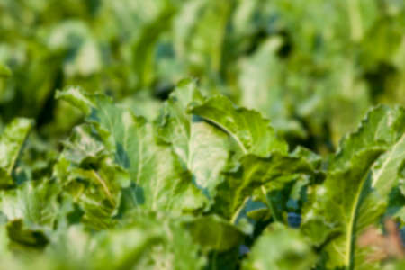 rutabaga: green leaves beetroot growing in an agricultural field, close-up, defocused Stock Photo