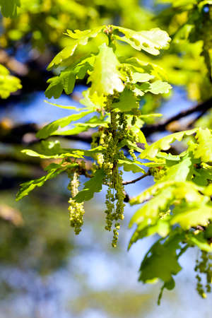 ablooming: oak flowers catkins , growing on a tree branch against the blue sky. Close-up. Spring.