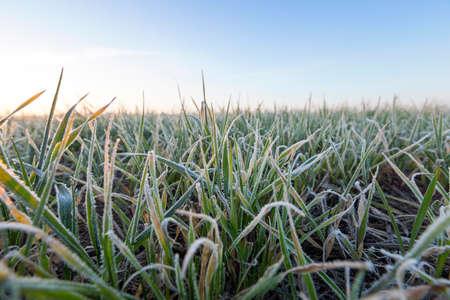 朝の霜、デフォーカスの後緑の植物若い小麦の撮影クローズ アップ 写真素材