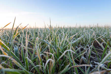 photographed close-up of green plant young wheat in the morning after a frost, defocused Фото со стока