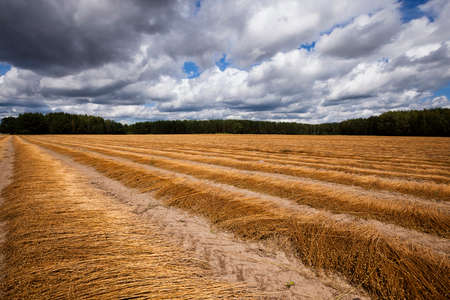 recently: Agricultural field on which was recently removed flax. autumn Stock Photo