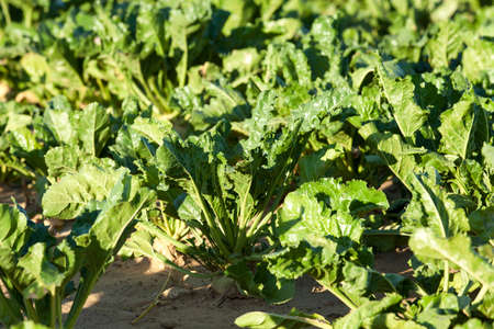 rutabaga: green leaves beetroot growing in an agricultural field, close-up Stock Photo