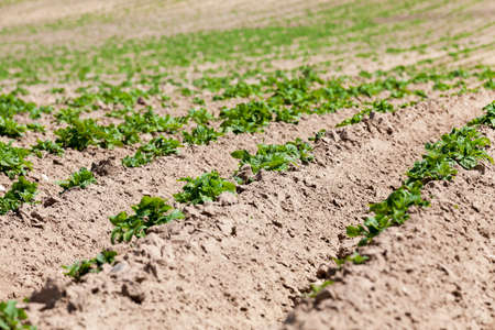 furrow: Agricultural field on which grow potatoes. furrow. Spring