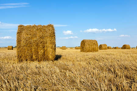 piled in the agricultural field haystacks straw. cereals. summer Stock Photo