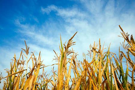crop margin: unripe green corn growing in an agricultural field