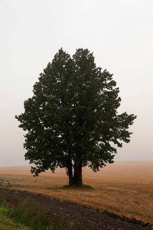 smother: one tree growing in the field, photographed close up in the fog, autumn