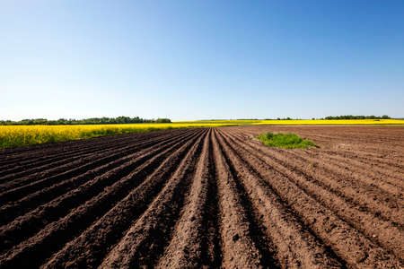 Agricultural field on which grow potatoes. furrow Stock Photo