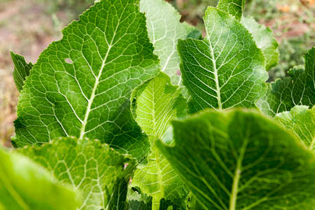 photographed close-up of green horseradish leaves in the spring time of the year,