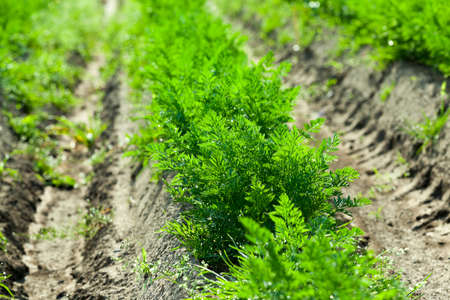 Agricultural field on which grow green young carrots. small depth of field Stock Photo