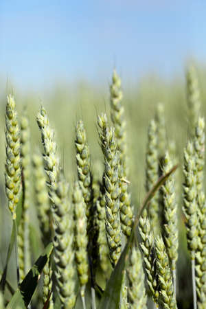 photographed closeup immature green wheat ears growing on agricultural field Stock Photo
