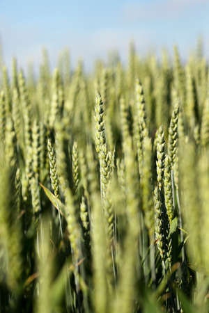 closed community: photographed close up unripe green ears of wheat. agriculture, field, shallow depth of field