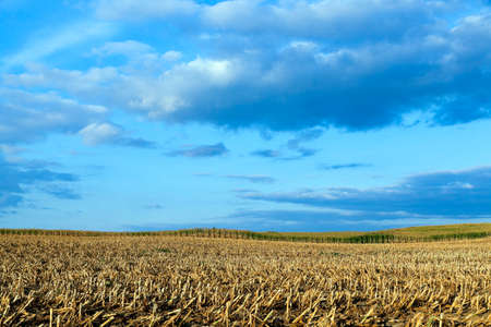 yellowing: agricultural field where crops harvested mature corn yellowing