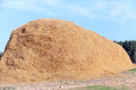 haymow: Agricultural field on which were left lying Straw Haystacks after the wheat harvest, grain field, farming and organic foods, autumn season, blue sky