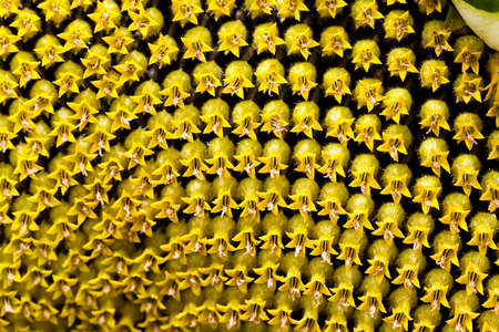 perianth: photographed close-up corolla sunflower seeds, and mature black underneath Stock Photo