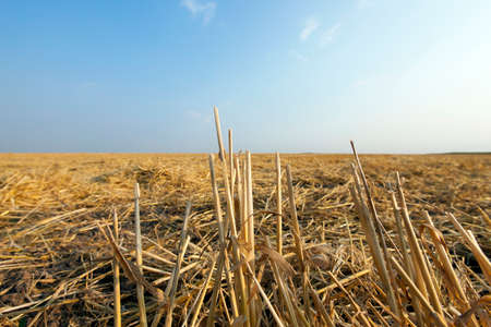 body scape: agricultural field, where on earth remained on the wheat straw after harvest