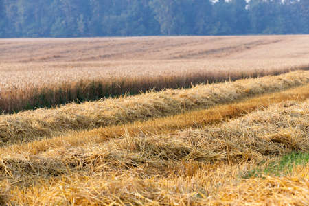 fruitage: agricultural field where crops harvested wheat, summer, Stock Photo