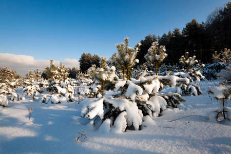 pine trees growing in a forest in winter. covered with snow Stock Photo