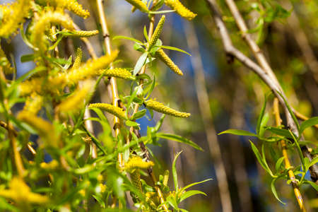 photographed close-up of young green leaves and flowers of the willow trees in the spring time of the year, the month of April, a small depth of field